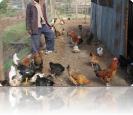 Chickens that help feed students